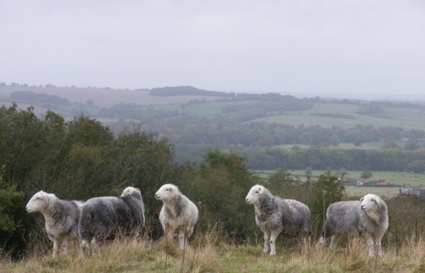 Herdwick Sheep 2